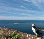 Portrait of puffin looking out to sea in puffin colony in Hebrides Royalty Free Stock Image