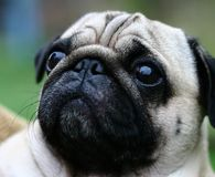 Portrait of a pug. Close up Royalty Free Stock Photography