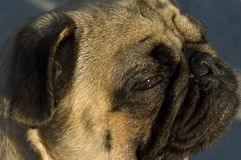 Portrait of a pug dog. Looking into the distance Royalty Free Stock Images
