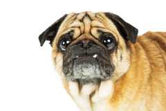 Portrait Pug Dog Big Eyes Teeth Out Royalty Free Stock Image