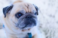Portrait of a pug closeup on a walk royalty free stock photography