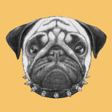 Portrait of Pug Dog with collar. Stock Photo