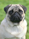 The portrait of Pug dog on a green grass lawn Royalty Free Stock Image