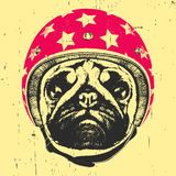 Portrait of Pug Dog with Helmet. Stock Image
