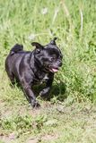 Pug dog living in belgium stock photos