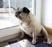Portrait of a pug dog Stock Images