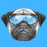 Portrait of Pug Dog with ski goggles. Stock Photos