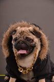 Portrait of Pug dog Stock Photography