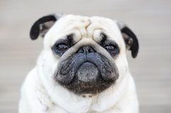 Portrait of a Pug outdoors Royalty Free Stock Photo