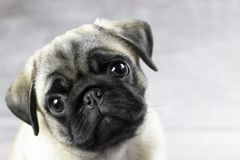 Sweet pug puppy face. Portrait of a pug puppy, cute funny face close up royalty free stock photo