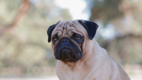 Portrait of the pug sitting on the rock stock footage
