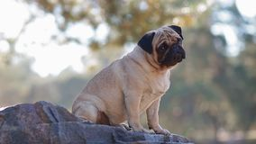 Portrait of the pug sitting on the rock stock video