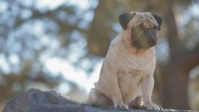 Portrait of the pug sitting on the rock stock video footage