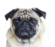 Portrait pug on white Stock Photography