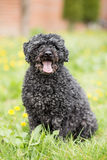 Portrait of Puli Royalty Free Stock Photography
