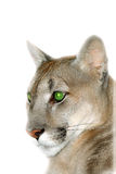 Portrait of the puma. Stock Photos