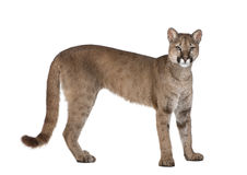 Portrait of Puma cub, Puma concolor, 1 year old Stock Image