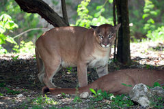 Portrait of puma in wildlife. Puma in wildlife park of Yucatan in Mexico Stock Photo