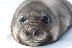 Portrait pup southern elephant seal lying in the snow Antarctic Royalty Free Stock Photography