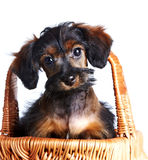 Portrait of a puppy in a basket. stock photos