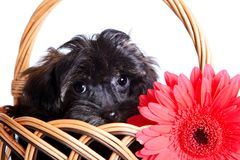 Portrait of a puppy in a basket with a red flower. Royalty Free Stock Images