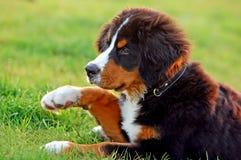 Portrait of puppy Bernese moun Royalty Free Stock Photo