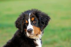 Portrait of puppy Bernese moun Stock Photos
