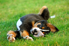 Portrait of puppy Bernese moun Royalty Free Stock Photography