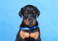Portrait of Puppy with blue belt Stock Photo