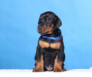 Portrait of Puppy with blue belt Stock Image