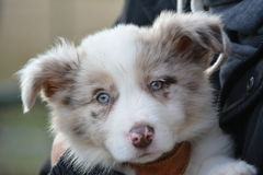 Portrait of puppy with blue eyes. En light colors Royalty Free Stock Image