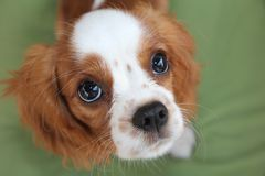 Portrait of a puppy Cavalier King Charles Spaniel on a green background. Cavalier King Charles Spaniel puppie dog stock image