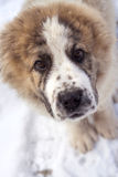 Portrait of puppy of Central Asian Shepherd Royalty Free Stock Photography