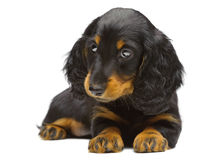 Portrait of puppy of Dachshund Royalty Free Stock Photos