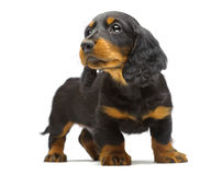 Portrait of puppy of Dachshund Stock Photography