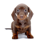 Portrait of puppy of Dachshund Stock Image