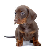 Portrait of puppy of Dachshund Stock Images