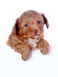 Portrait of a puppy. Royalty Free Stock Photos