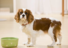 Portrait of puppy with dog dish Stock Photography
