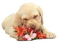 Portrait of puppy with a flower. Stock Image