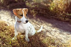 Portrait of puppy Jack Russell Terrier sits on the lawn in autumn stock image