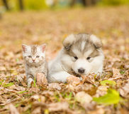 Portrait of a puppy and a kitten for a walk in the autumn park Stock Images