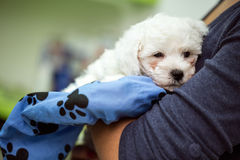 Portrait puppy Maltese. Portrait puppy white Maltese in hands Royalty Free Stock Photos