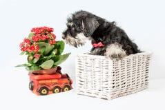 Portrait puppy miniature Schnauzer black Royalty Free Stock Photo