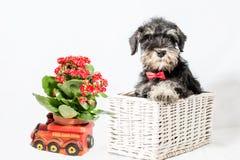 Portrait puppy miniature Schnauzer black stock photos