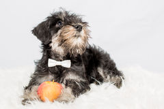 Portrait puppy miniature Schnauzer black isolated Stock Photography
