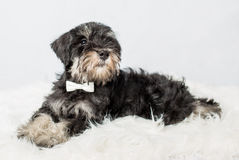 Portrait puppy miniature Schnauzer black Royalty Free Stock Photos