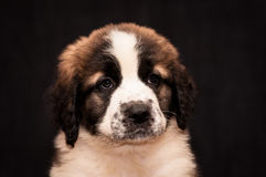 Portrait of a puppy Moscow watchdog Stock Photography