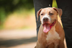 Portrait of a puppy on the nature close up. Pitbul Stock Photography