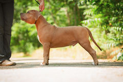 Portrait of a puppy on the nature close up. Pitbul Stock Photo
